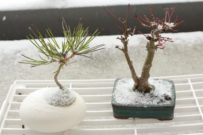 雪と黒松、山椛