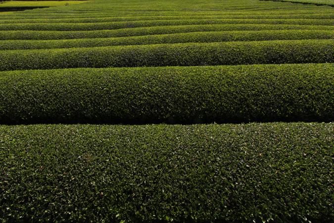 静岡の茶畑
